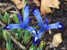 Rose Garden Irises | Red Butte Garden