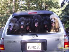 What's better than one poodle?  A car full! Especially when it's Chopper and Matisse and pals.