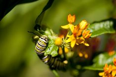 Oh, c'mon, admit it: he's cute. It's lucky for our plants that he's a Monarch, and only eats milkweed.