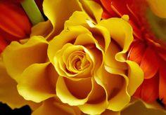 фотография цветка желтой розы