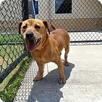 Adopt A Pet :: Marcus - Alvin, TX