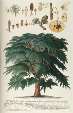 Drawing of a Cedar Tree - from the Plantae Selectae - probably from the specimens grown in the Chelsea Physic Garden