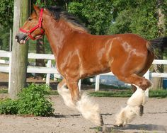 Clydesdale Horses Budweiser | Budweiser Clydesdale Running | Flickr - Photo Sharing!