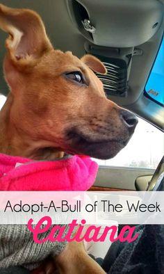 Adopt-A-Bull of The Week – Catiana, located in upstate NY | http://www.thelazypitbull.com/2015/02/adopt-a-bull-catiana/