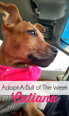 Adopt-A-Bull of The Week – Catiana, located in upstate NY | http://www.thelazypitbull.com/2015/02/adopt-a-bull-catiana/