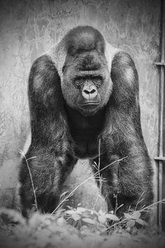 """""""Silverback Gorilla."""""""