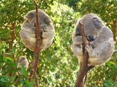 Koalas by Mark Tyacke VisionAiry Photography oh. my. gerd. crying from cute animal overload...