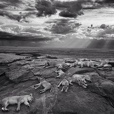 """WILDLIFE PHOTOGRAPHER OF THE YEAR 2014: Dunkle Wolken ziehen auf und der Himmel verfinstert sich während dieses Löwenrudel auf einem Felsen im tansanischen #Serengeti-Nationalpark döst. Michael """"Nick"""" Nichols nennt sein episches Panorama mit dem er den diesjährigen Wettbewerb gewann """"Das letzte große Bild"""". So will er auf die Bedrohung der Raubkatzen durch den Menschen aufmerksam machen. GEO 11/14. Michael """"Nick"""" Nichols/Wildlife Photographer of the Year 2014 @nickngs @geo_fotoredaktion…"""