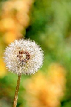˚ Dandelion Wish, Study Help, Dandelions, Summer Time, Bible, Earth, Plants, Fun, Flowers
