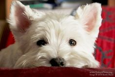 Google Image Result for http://www.todaysphoto.org/potd/lily-the-westie.jpg