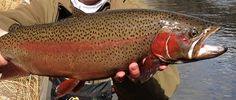 Missouri River, Montana fly fishing and great rainbow. This river has really strong fish. Going Fishing, Fly Fishing, Missouri River, Central Oregon, Find Picture, Montana, Strong, Rainbow, Hunting