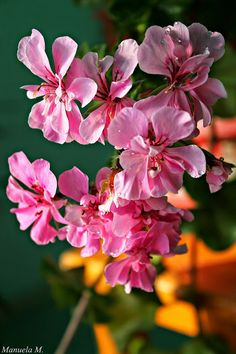 Google+ Geranium, Flowers.