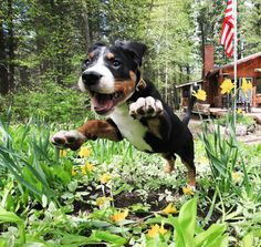 excited dog | Greater Swiss Mountain Dog