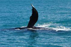 jubarte em visita as águas da Bahia no mar de Caraíva-Porto Seguro