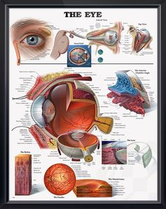 The Eye anatomy poster shows cross section of eye, provides lateral and top view of the eye and shows the visual field. Vision chart for doctors and nurses.