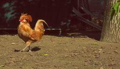 I'm #punk.  Paduan Chicken. #gallinapadovana #hen