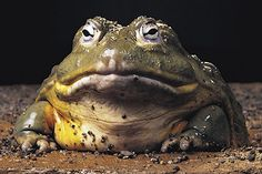 Giant African bull frog, Aka pixie frog, when stretched out, these things can be like four feet long
