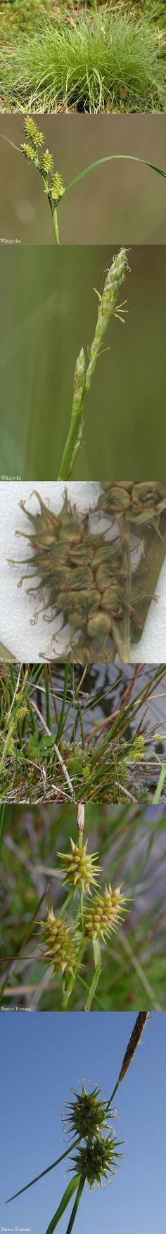 Geelgroene zegge - Carex oederi subsp. oedocarpa