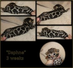Bengal Cat Breeder & Kittens For Sale in Florida | BellArista Bengals