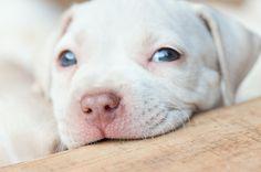 filhote, apbt puppy, american pit bull terrier, fauzibulls