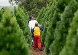 Christmas Tree Farms in Maryland andVirginia