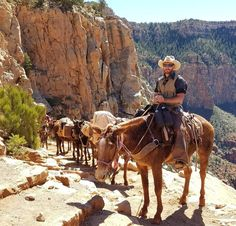 Grand Canyon mules heading out of the canyon after an 11 hour day of work. These guys work 365 days a year, 11 hours a day going down to the bottom and back out carrying anything from packs, trash and recyclables, and food for Phantom Ranch. I was worried they might be malnourished or not taken care of but they all looked very healthy and strong!  This was the highlight of my day while hiking on South Kaibab trail. 🏞🌄🐎😎 .  .  .  #grandcanyon #southrim #southrimgrandcanyon #mule…
