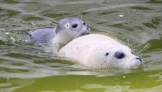 swimming together Baby Animals Songs, Animals And Pets, Funny Animals, Cute Animals, Seal Pup, Baby Seal, Cute Seals, Harbor Seal, Marine Life
