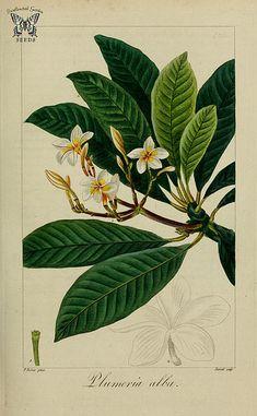 Plumeria alba. Herbier général de l'amateur, vol. 8 (1817-1827) [P. Bessa] | by Swallowtail Garden Seeds