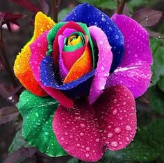 Cheap rainbow rose, Buy Quality colorful rose seeds directly from China rose seeds Suppliers: On Sale! 100 pcs Seeds Rare Holland Rainbow Rose Flower Home Garden Rare Flower Seeds Colorful Rose Seeds Rare Roses, Rare Flowers, Exotic Flowers, Amazing Flowers, Beautiful Roses, Beautiful Flowers, Beautiful Life, Unique Roses, Cut Flowers