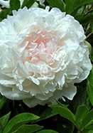"""ELSA SASS, 1930    Winner of the APS Gold Medal — the peony world's highest honor — this Nebraska-bred classic offers armloads of BIG, rose-like blooms of palest pink (especially in cool weather) maturing to white. Its sturdy stems and compact form make it an excellent garden plant, and its late bloom and gentle fragrance make it a favorite for weddings. 26-30"""", zones 3a-7b(8bWC), 3-5 eyes, from Iowa."""