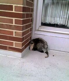 Opossum  Sleeps For: 18-20 hours a day