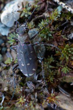 http://faaxaal.forumgratuit.ca/t3721-photo-de-carabide-cicindele-a-douze-points-cicindela-duodecimguttata-twelve-spotted-tiger-beetle