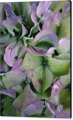 ca5eac24f288 Canvas Print featuring the photograph Lilac And Green Hydrangea Petals by    copyright Richard Brookes.