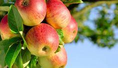 Яблоки: польза и вред