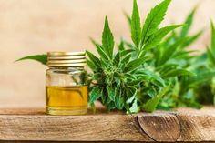 Buy CBD Hemp Flower – Hemp flower for sale Cannabis Plant, Cannabis Oil, Cannabis Edibles, Endocannabinoid System, Cbd Hemp Oil, Oil Benefits, Health Benefits, Ptsd, Panic Attacks