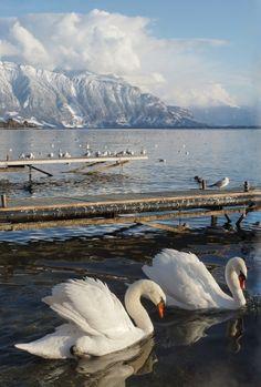 Swans on Lake Geneva, Matthieu Gigon Lake Geneva Switzerland, Places In Switzerland, Switzerland Itinerary, Vevey, Swans, Evian Les Bains, Places Around The World, Around The Worlds, Swiss Alps