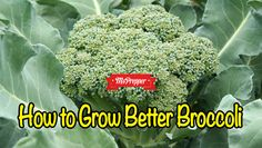 How to Grow Better Broccoli #Prepping #Preppers #MsPrepper