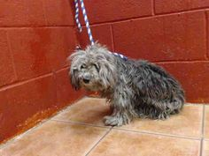 PLEDGES AND RESCUE NEEDED! She has some blood in her urine and may have been hit by a car. She weighs 9.4 lbs. A4825695 My name is Yvette and I'm an approximately 1 year old female poodle min. I am not yet spayed. I have been at the Downey Animal Care Center since May 3, 2015 https://www.facebook.com/photo.php?fbid=864354700311530&set=pb.100002110236304.-2207520000.1430740335.&type=3&theater