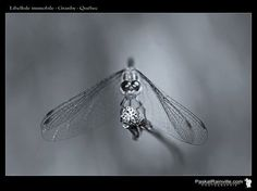 Immobile, Moth, Insects, Animals, Dragonflies, Animaux, Animal, Animales, Animais