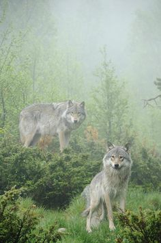 ~~Ghosts Of The Forest by Andy-Kim Moeller ~ grey wolves~~