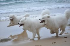 Happy Animals, Funny Animals, Japanese Spitz Puppy, Samoyed Dogs, Snow Dogs, Dog Rules, White Dogs, Beautiful Dogs, Dog Friends