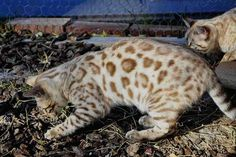 Queenanne Cats - Upcoming planned breedings for Bengals and Toyger Cat in Bromsgrove, West Midlands