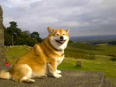The Corgi Shiba Inu Mix is Adorable, But Is It Desirable?