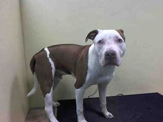 Brooklyn Center YOLO – A1037877 ***DOH HOLD 05/29/15*** MALE, WHITE / BROWN, PIT BULL MIX, 4 mos STRAY – STRAY WAIT, HOLD FOR DOHMULTIPL Reason BITEPEOPLE Intake condition EXAM REQ Intake Date 05/28/2015