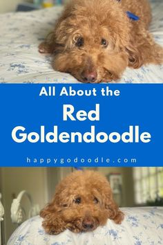 Cinnamon red. Firecracker red. Apricot. The Goldendoodle's red coat is just one of the Doodle dog's cute qualities. Check out these 7 things about the red Goldendoodles that you may not know. #redgoldendoodle #happygodoodle Goldendoodle Names, Mini Goldendoodle, Goldendoodles, Huge Teddy Bears, Puppy Coats, Doodle Dog, Veterinary Care, Therapy Dogs, Firecracker