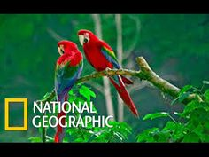 Beautiful Birds / Parrot Confidential (National Geographic) - YouTube