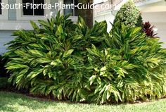 tall shade plants for south florida | This handsome and impressive plant takes center stage anywhere it's ...