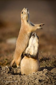 Prairie Dog Song by Cameron Gillie  -  These little critters make the best pets.  Love them!!