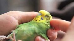 This is a story of our very special pet budgie (parakeet), Boo. She was injured when she was a year old, and permanently lost the use of her legs – but that did not stop her! Boo has adapted amazingly well. We love her very much