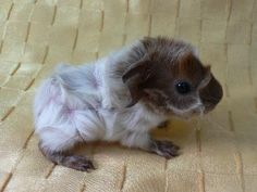 The Excellent Adventure Sanctuary. Why You Shouldn't Purchase A Guinea Pig At A Pet Store. You visit a pet store and you instantly fall in love with a cer Baby Guinea Pigs, Pet Pigs, Baby Pigs, Animals And Pets, Baby Animals, Funny Animals, Cute Animals, Smiling Animals, Small Animals